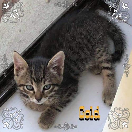 Gold - Domestic Short Hair Cat