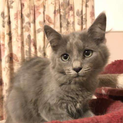 Manny  - Domestic Long Hair Cat