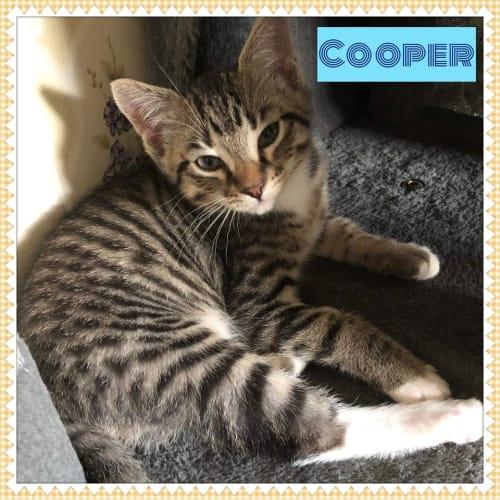 Cooper - Domestic Short Hair Cat