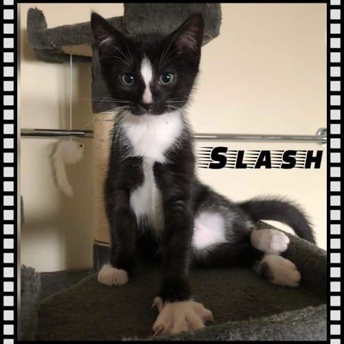 Slash - Domestic Short Hair Cat
