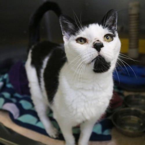 Shannon - Domestic Short Hair Cat