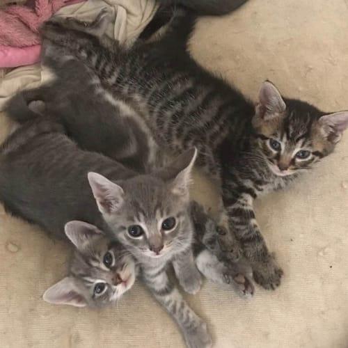 Moni - Domestic Short Hair Cat