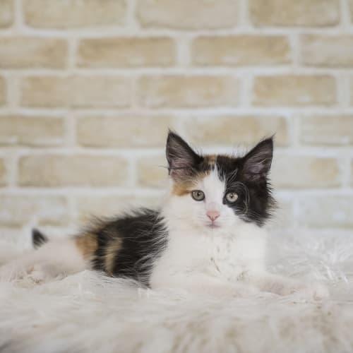 Marigold - Domestic Long Hair Cat