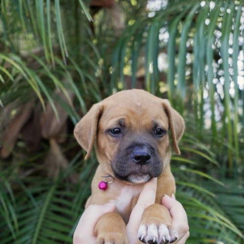 George ~ male French Mastiff X Ridgeback puppy - Mastiff x Ridgeback Dog