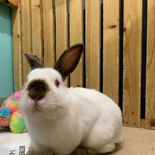 Koda  -  Rabbit