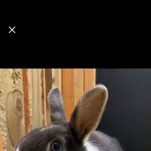 Banjo  - Netherland Dwarf Rabbit