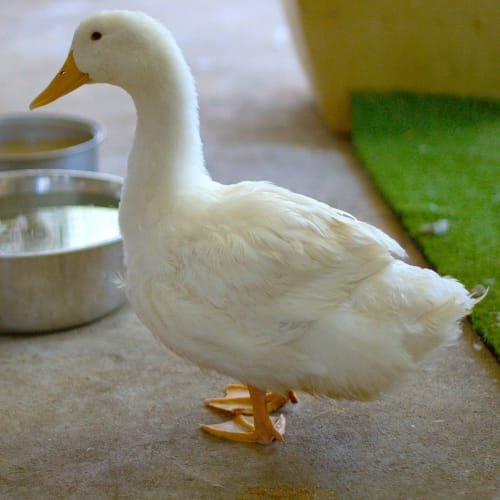 Riskie -  Duck