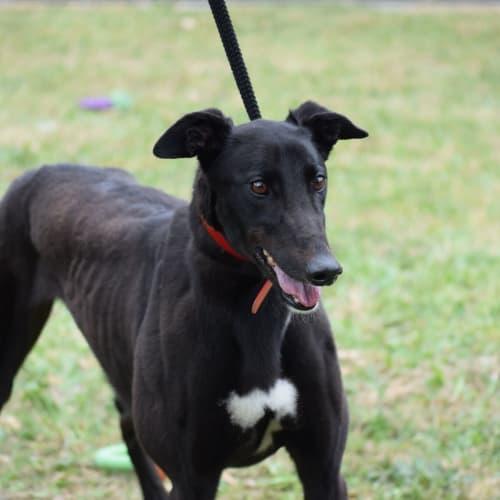 Peggy - Greyhound Dog