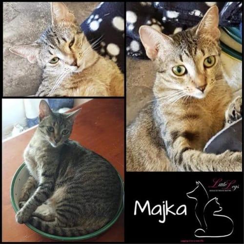 Majka - Domestic Short Hair Cat