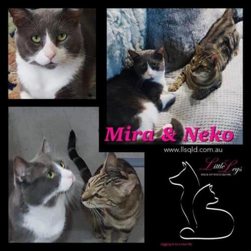 Mira - Domestic Short Hair Cat
