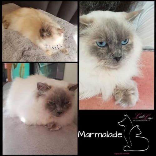 Marmalade - Ragdoll Cat