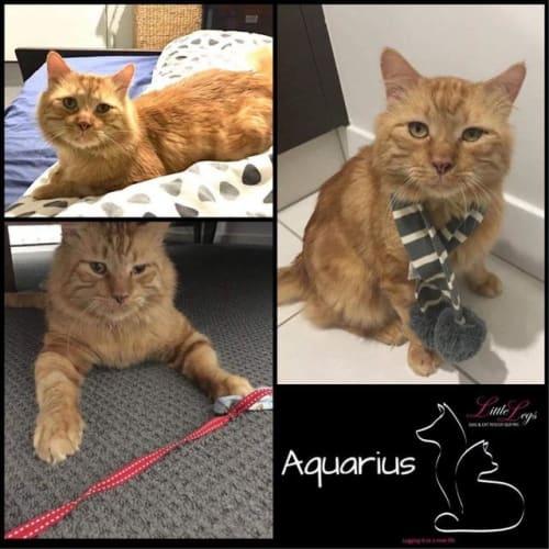 Aquarius - Domestic Short Hair Cat