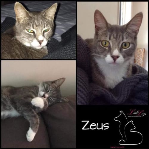 Zeus - Domestic Short Hair Cat