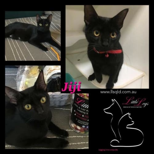 Jiji - Domestic Short Hair Cat
