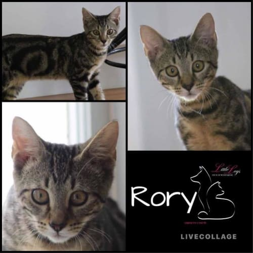 Rory - Domestic Short Hair Cat