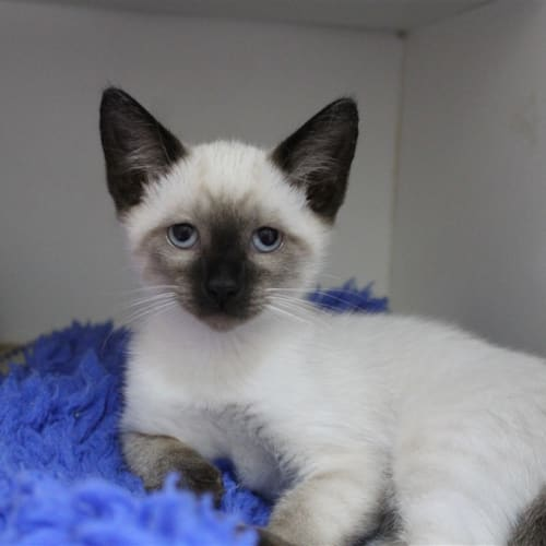 Silver - Dsh Cat