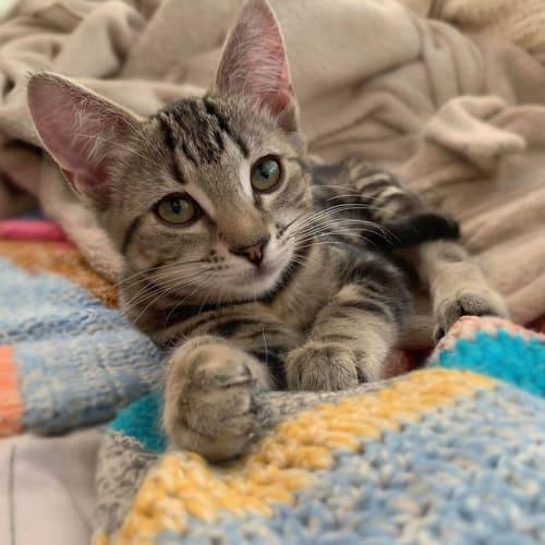 Dulcie - Domestic Short Hair Cat