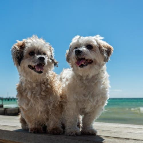 Lulu & Lilly Upton - Maltese Dog