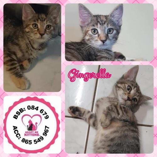 Gingerella - Domestic Short Hair Cat