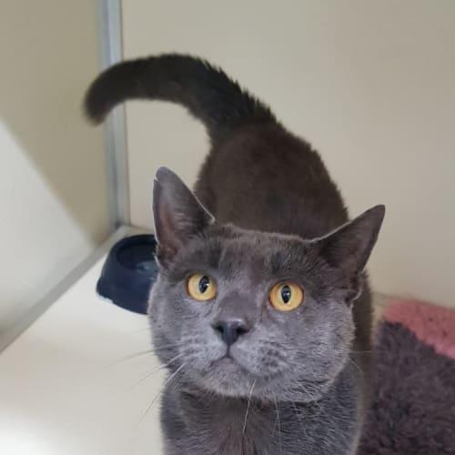 Dmirty - Domestic Short Hair Cat