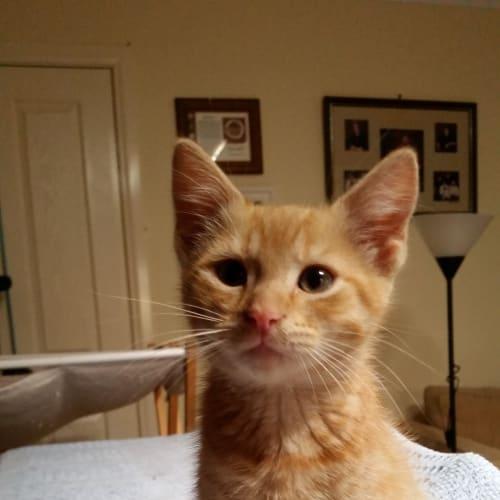 Leo - Domestic Short Hair Cat