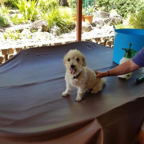 Scruffy - Maltese Dog