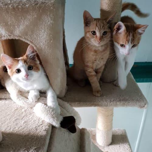 Morgan, Molly and Miles - Domestic Short Hair Cat
