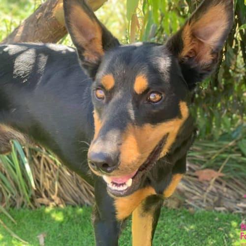 Noah - Kelpie Dog