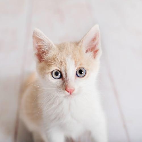 Prince - Manx Cat