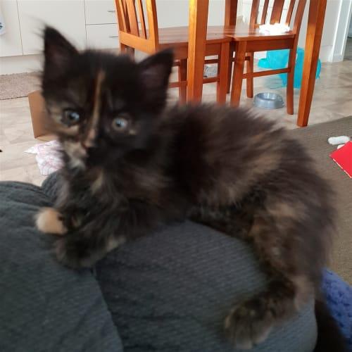 Minka - Domestic Medium Hair Cat