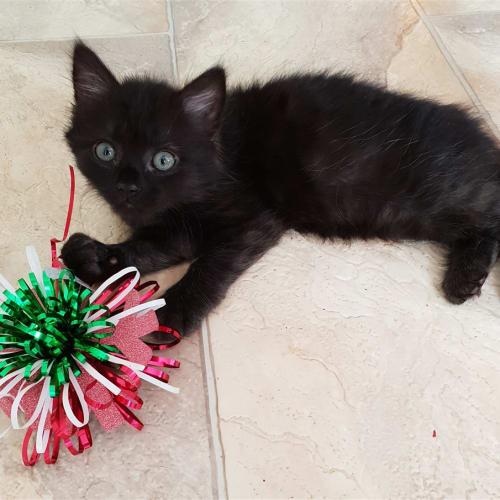 Salem - Domestic Medium Hair Cat