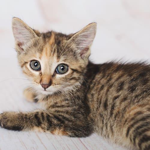 Bambi - Manx Cat