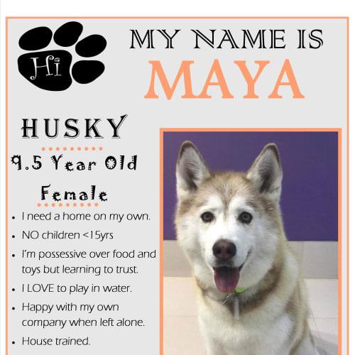 Maya - Siberian Husky Dog
