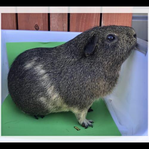 Clancey - Smooth Hair Guinea Pig