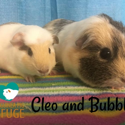 Cleo and Bubbles (indoor home only) -  Guinea Pig