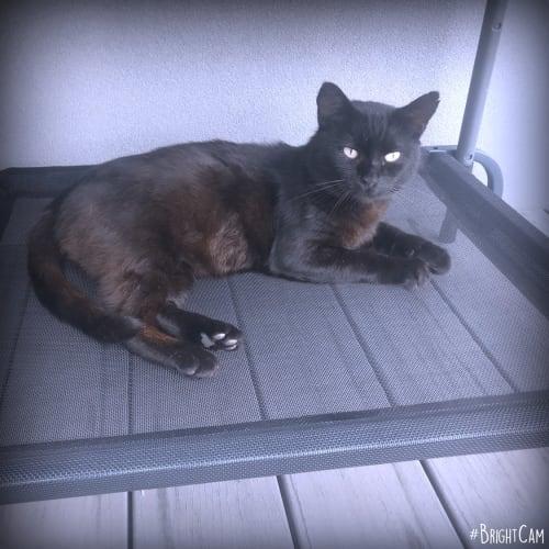 Blackie ** A Senior Love Bug ** - Domestic Short Hair Cat