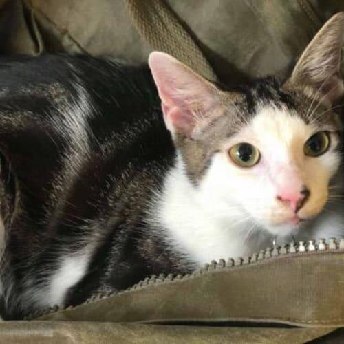 Milo (Twinkle) - Domestic Short Hair Cat