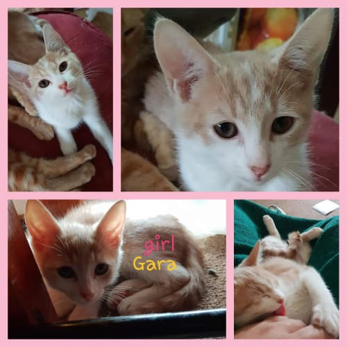 Gara - Domestic Short Hair Cat