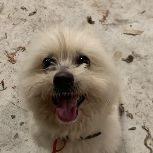 Coco (on trial) - Maltese x Pomeranian Dog