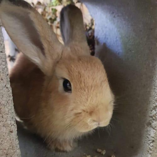 Shy guy  - Netherland Dwarf Rabbit