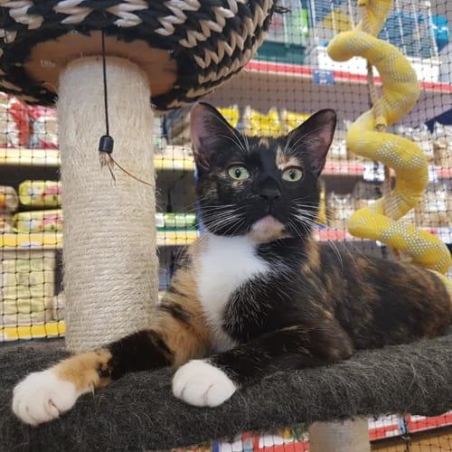 Dusk - Domestic Short Hair Cat