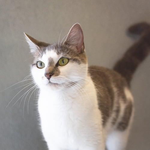 Sissy (92124) - Domestic Short Hair Cat