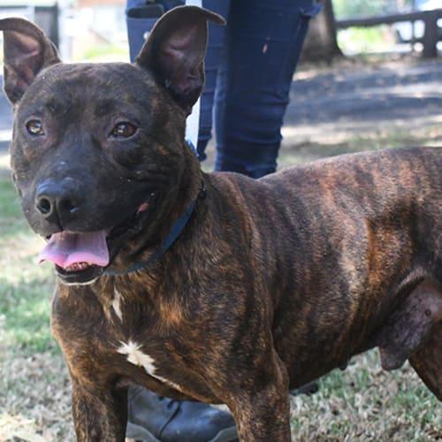 Brody 31222 Campbelltown ACF - Staffy Dog
