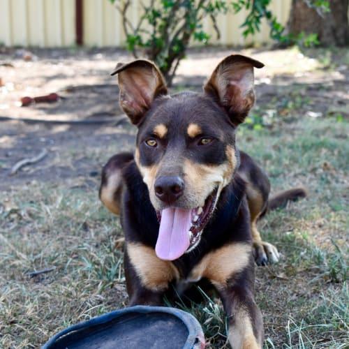 Benji - Kelpie Dog