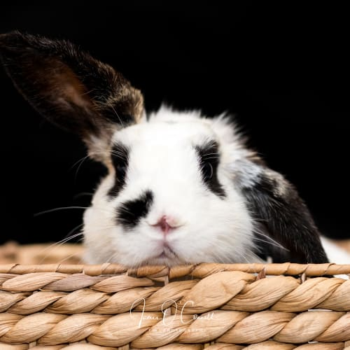 🐰🐰Panda (and Possum!) - Dwarf lop Rabbit