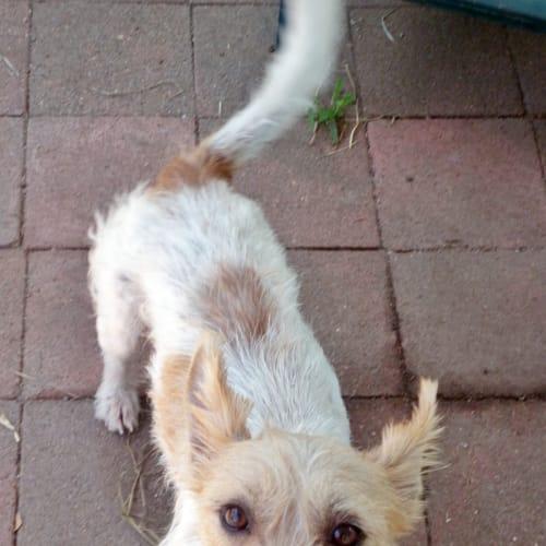 Benji - Jack Russell Terrier Dog