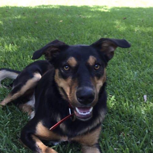 Marty - Kelpie Dog