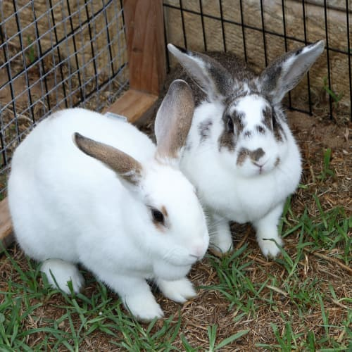 Malaki and Poppy - Domestic Rabbit
