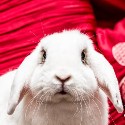 Buster (and Gabby!) - Dwarf lop Rabbit