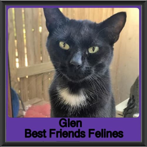 Glen - Domestic Short Hair Cat